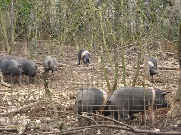 cinta-senese-varkens-Siena (11)
