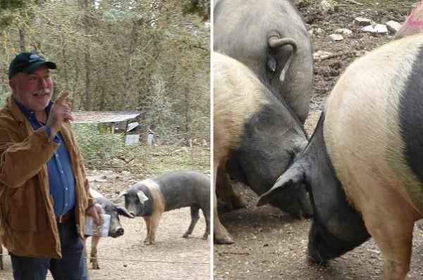 cinta-senese-varkens-Siena (12)