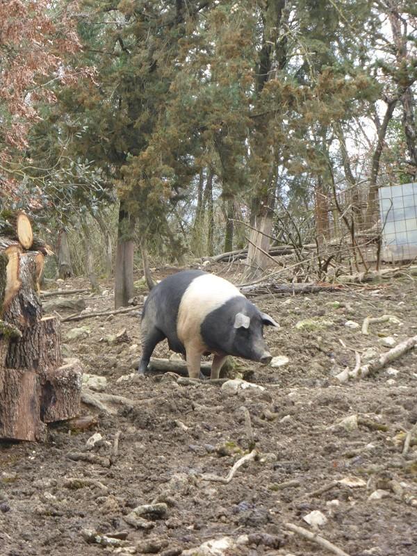 cinta-senese-varkens-Siena (13)