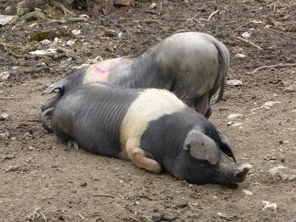 cinta-senese-varkens-Siena (19)