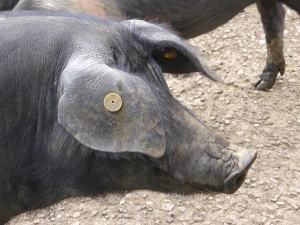 cinta-senese-varkens-Siena (20)