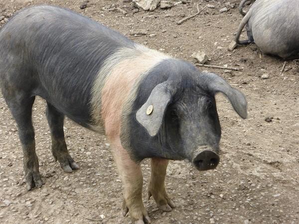 cinta-senese-varkens-Siena (22)