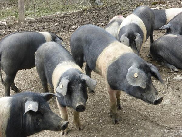 cinta-senese-varkens-Siena (3)