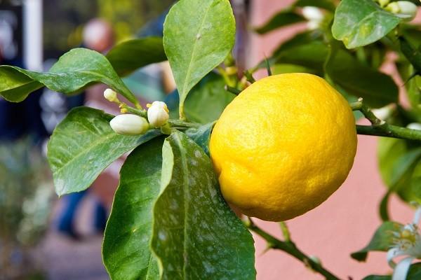 citroenen-Gardameer (3)