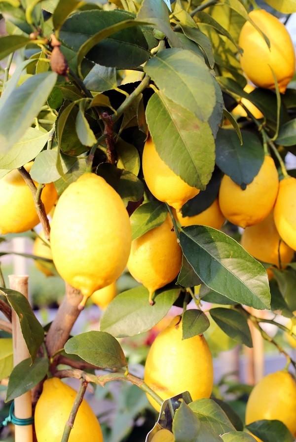 citroenen-Sicilië