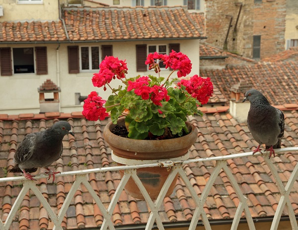 beautiful tuscan balcony with flowers and pigeons, Florence