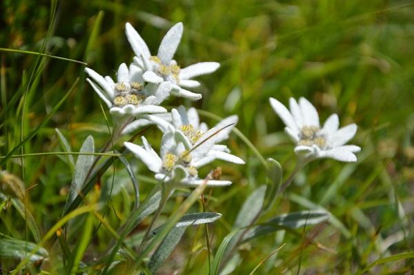 edelweiss-Val-di-Freddo