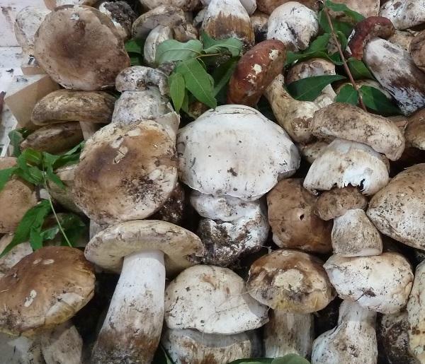 funghi-porcini-Piemonte (2)