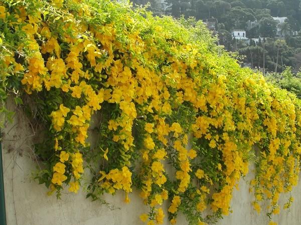 jasmijn-Italie