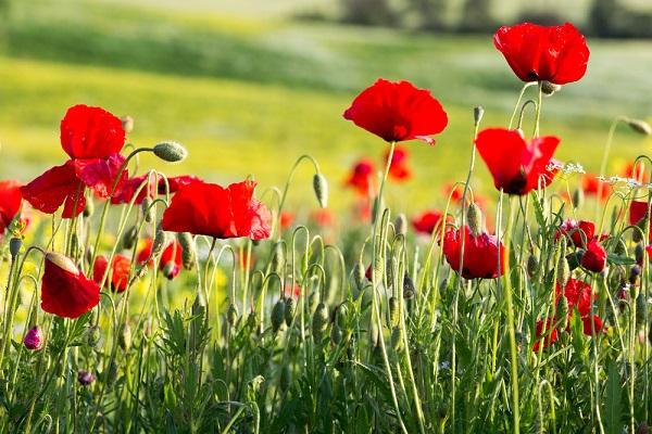 lente-primavera-Italië-klaprozen (1)