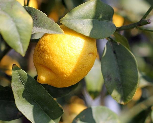 limoni-citroenen