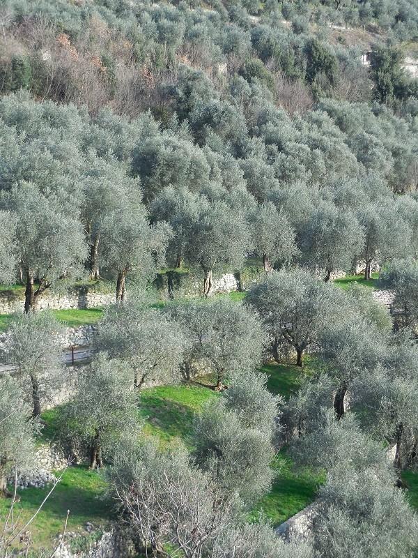 olijfbomen-Gardameer