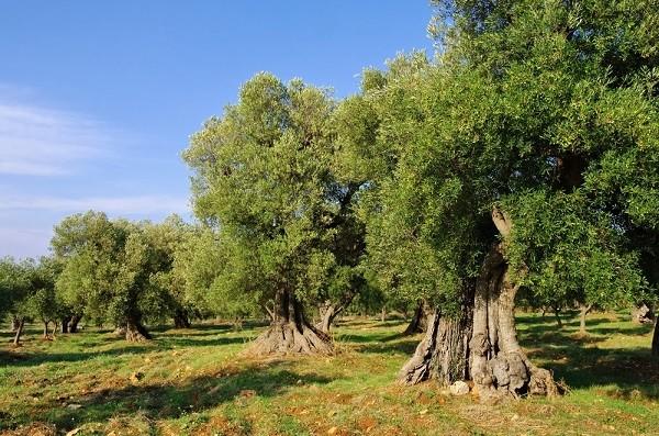 olijfbomen-Puglia