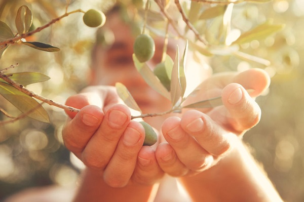 olijfboom-Italie-olijfolie
