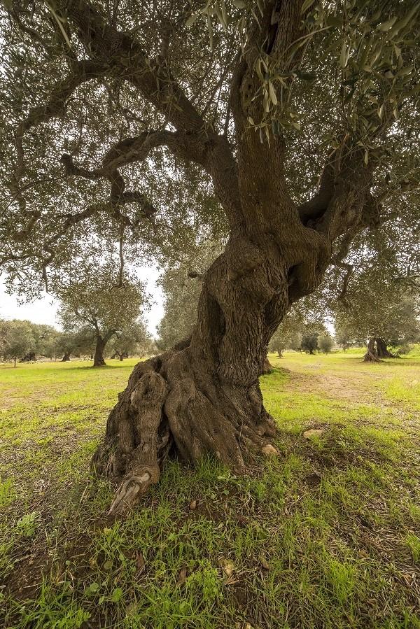 olijfboom-Puglia