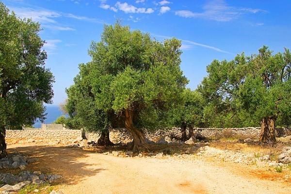 olijfboom-olie-Italië-beauty (1)