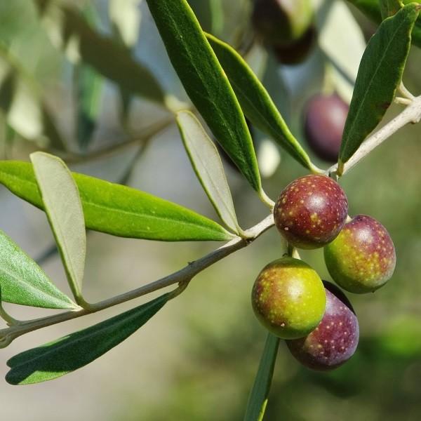 olijfboom-olie-Italië-beauty (2)