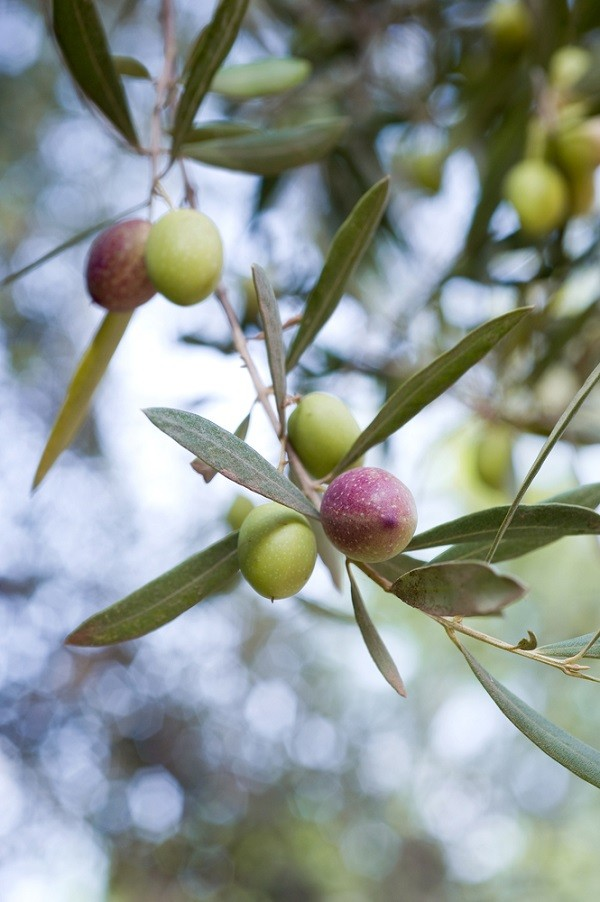 olijven-olijfolie (1)
