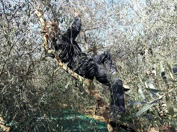 olijven-oogst-2015-Gradoli (2)