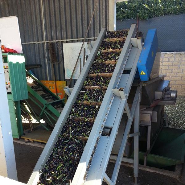 olijven-oogst-2015-Gradoli (4)