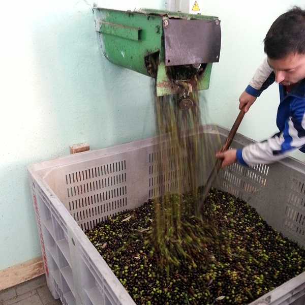 olijven-oogst-2015-Gradoli (6)