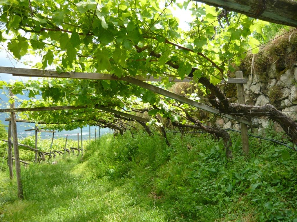 pergola-wijnranken
