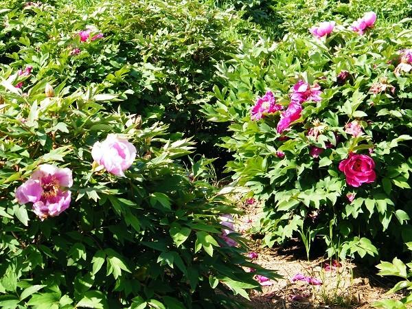 pioenrozen-tuin-Viterbo (1)