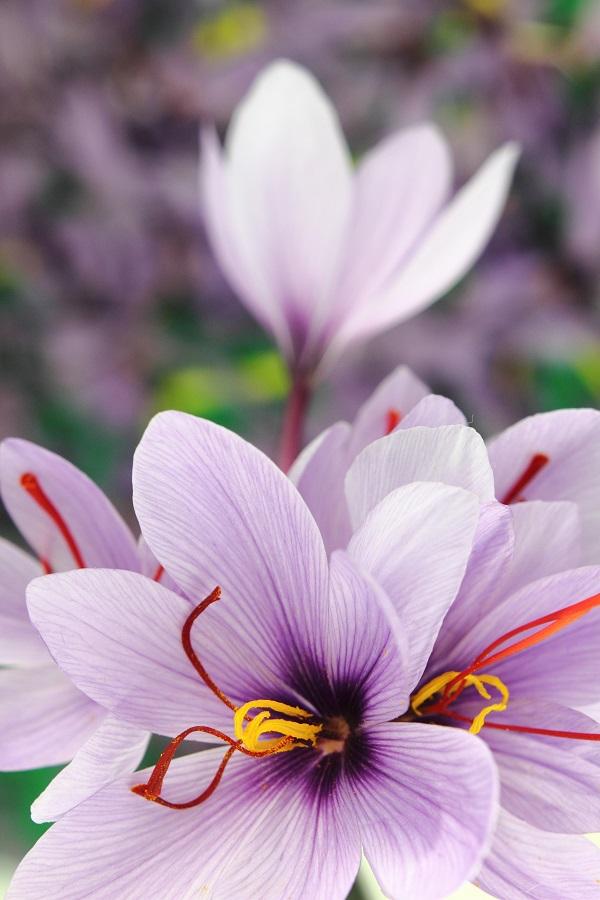 saffraan-bloemen