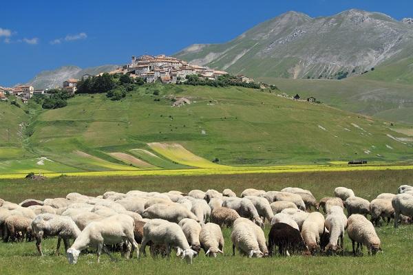 schapen Piano Grande