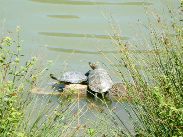 schildpadjes (1)