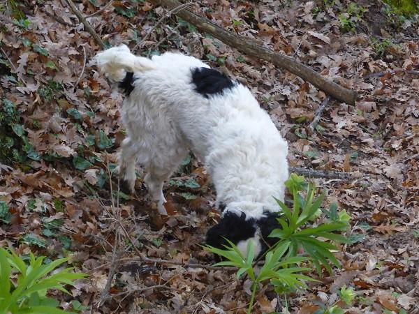 truffels-zoeken-San-Miniato-Toscane (15)