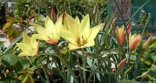 voorjaar-Italië-tulpen (2)