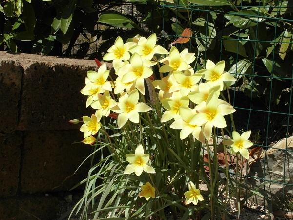 voorjaar-Italië-tulpen (4)
