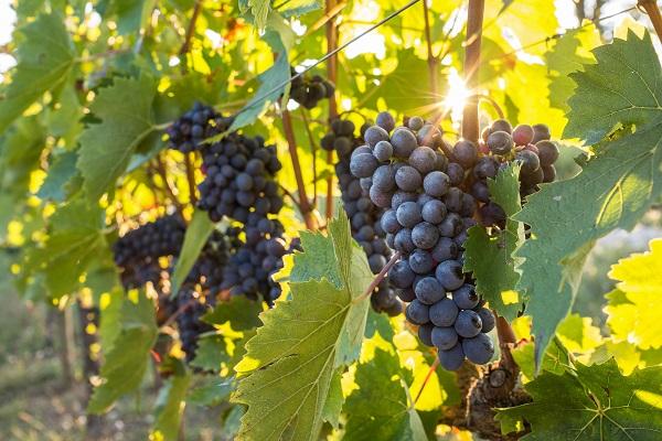wijn-Puglia-druiven