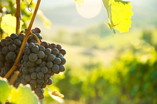 wijn-druiven-herfst-Toscane-wijngaarden-Italië (2)