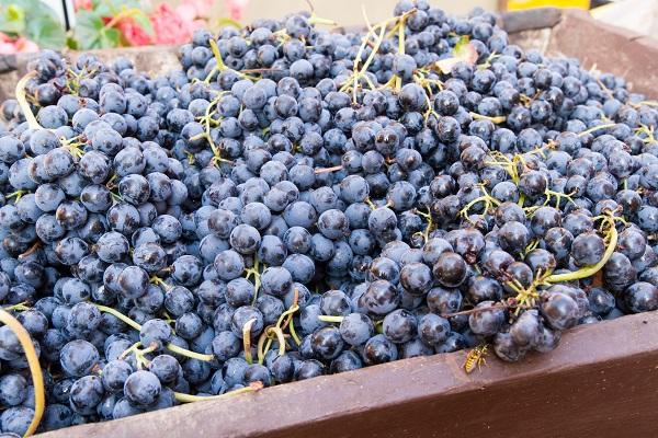 wijn-oogst-druiven