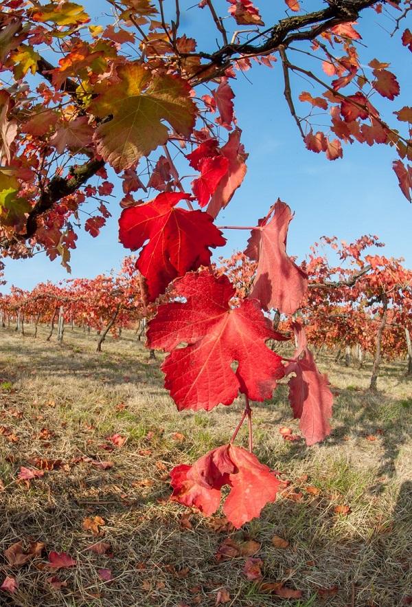 wijngaard-Lambrusco-Italië