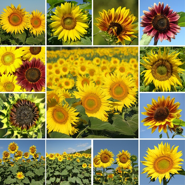 zonnebloemen-Italie