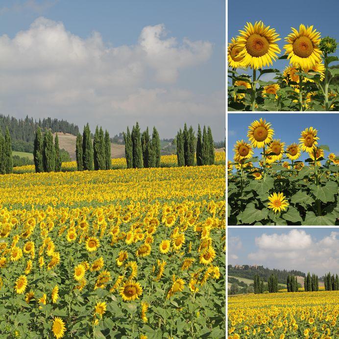 zonnebloemen-Toscane